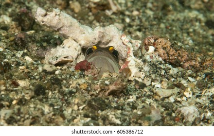 Jaw fish nesting on the sand