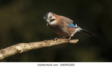 Jay Bird close-up