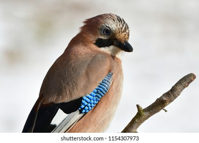 jay bird during winter time