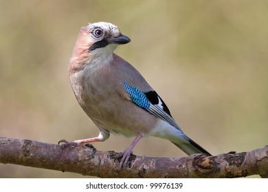 Jay bird ( Garrulus glandarius )