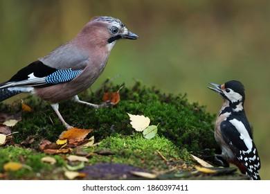 Jay contra Great woodpecker in the garden