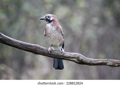 Jay, Garrulus glandarius, single bird on branch,  Warwickshire, October 2014