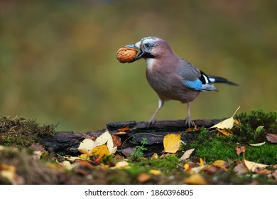 Jay with nut in the garden
