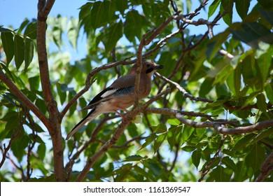 jay oak on a branch