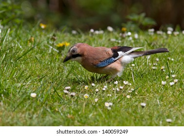 Jay on the grass.