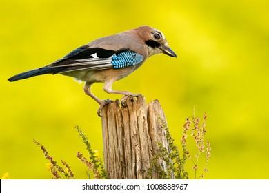 Jay on a log
