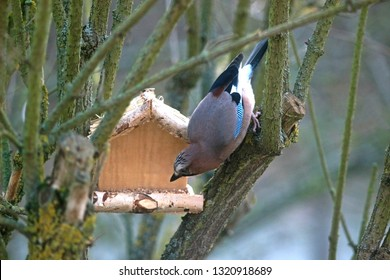 jay picking grains out of a small wooden bird feeder