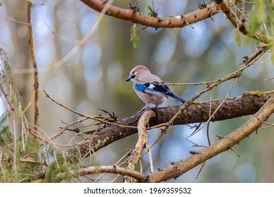A jay sits on the branch of a spruce in the forest