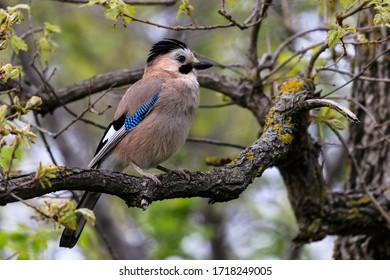 Jay im Frühlingswald