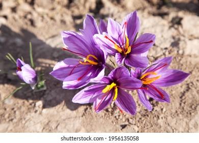 Jede Safranblüte haben drei Safranfäden - Shutterstock ID 1956135058