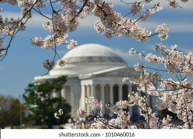 Jefferson Memorial during Cherry Blossom Festival in spring - Washington DC -United States