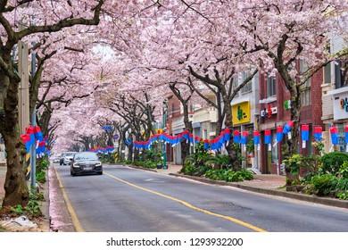 JEJU, SOUTH KOREA - APRIL 9, 2018:  Blooming sakura cherry blossom trees in spring in street with cars, Jeju island, South Korea