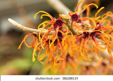 Jelena Witchhazel Blooming in Fall
