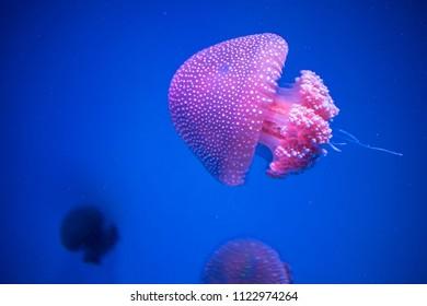 jelly fish in aquarium tank