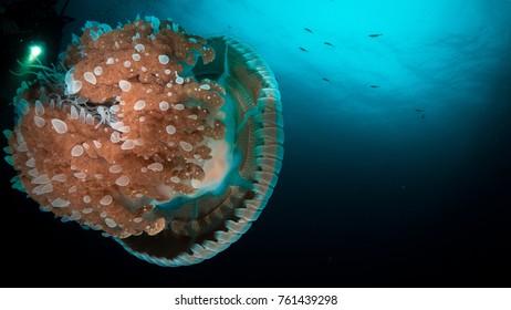 Jelly fish, Similan Island, Thailand