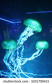 Jellyfisch in blue colored light