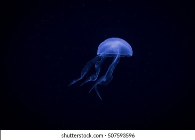 Jellyfish with blue light