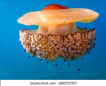 jellyfish . jelly . underwaterjellyfish . mediterranean sea
