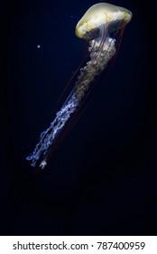 Jellyfish of Kumo aqualife park