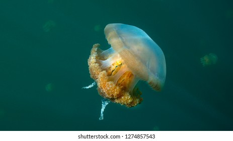 Jellyfish Lake in Palau is an enclosed marine lake containing millions of Golden and Moon Jellyfish. Unlike jellyfish commonly Palau's jellyfish have evolved not to sting in the absence of predators.