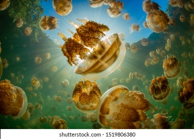 Jellyfish Lake in Palau, full of harmless Golden Jellyfish.