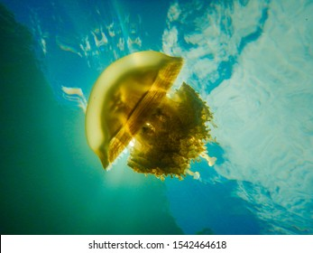 Jellyfish lake, Shining Golden jellyfish (Mastigias papua etpisonii) is endemic in this Marine lake, Rock Islands Southern Lagoon, Palau, Pacific. Under water photo.