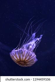 Jellyfish Medusa Animal Ocean Marine