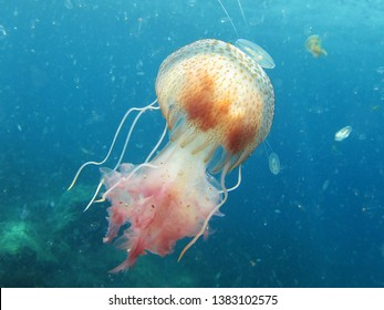Jellyfish or sea jellies are the informal common names given to the medusa-phase of certain gelatinous members of the subphylum Medusozoa, a major part of the phylum Cnidaria