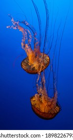 Jellyfish and sea jellies are the informal common names given to the medusa-phase of certain gelatinous members of the subphylum Medusozoa, a major part of the phylum Cnidaria