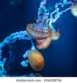 Jellyfish and sea jellies are the informal common names given to the medusa-phase of certain gelatinous members of the subphylum Medusozoa, a major part of the phylum Cnidaria.
