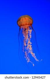 Jellyfish - Sea nettle  (Chrysaora quinquecirrha)