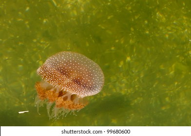 jellyfish with white spots