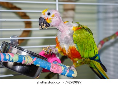 Jenday Conure with bald head showing details of anatomy normally not seen such as ear and skin. Bald due to mate over allopreening. The parrot is eating, holding food in its foot.