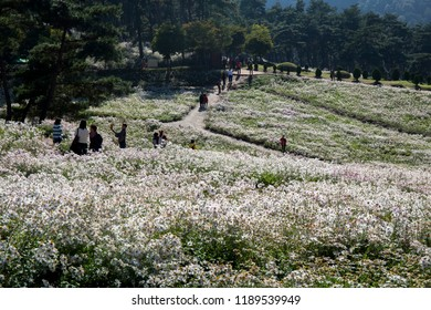 Jeongeup, North Jeolla Province / South Korea - October 13, 2017 : Korean chrysanthemum flower festival in Jeongeup. People look around the flower field