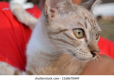 Jerantut, Malaysia. 13 March 2014. The potrait of village cat. Domestic Short Haired or malay cat. A domestic short-haired cat is a cat of mixed ancestry—thus not belonging to any particular recognize