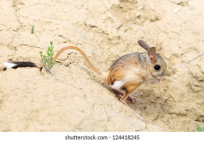 jerboa (Allactaga major) with a long tail and ears - a cute little animal is on the long hind legs