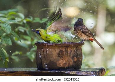 Jerdon's leafbird and  in Minneriya national park, Sri Lanka ; specie Chloropsis jerdoni and Pycnonotus cafer