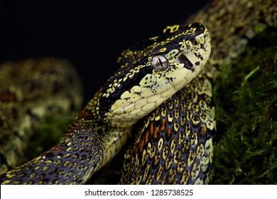 Jerdon's pit viper (Protobothrops jerdoni xanthomelas)