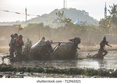 Jereweh, Sumbawa Barat, Indonesia - September 10, 2017: Local buffalo race competition held on island of Sumbawa in Jereweh, Indonesia on 10th of September 2017.