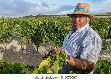 JEREZ DE LA FRONTERA, ANDALUSIA, SPAIN - SEPTEMBER 2014: Farm worker handpicking grapes during wine harvest.