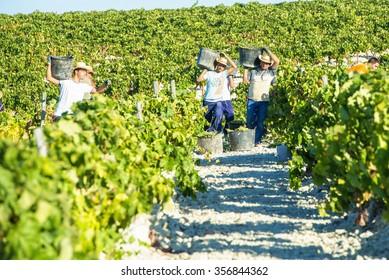 JEREZ DE LA FRONTERA, SPAIN - AUGUST 26: People doing manually harvest of white wine grapes on aug 26, 2014 in Jerez de la frontera