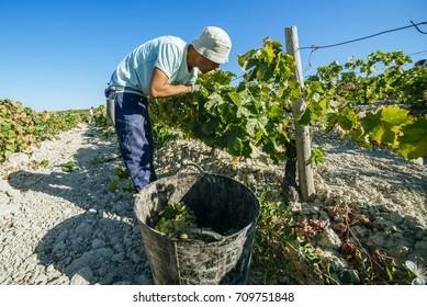 JEREZ DE LA FRONTERA, SPAIN - AUGUST 21: People doing manually harvest of white wine grapes on aug 21, 2014 in Jerez de la frontera