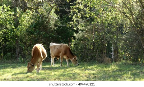 Jersey Bull And Steer Grazing Together In Open Green Pasture With Sun Glistening Through Trees On A Farm In The Mountains Of South West Virginia