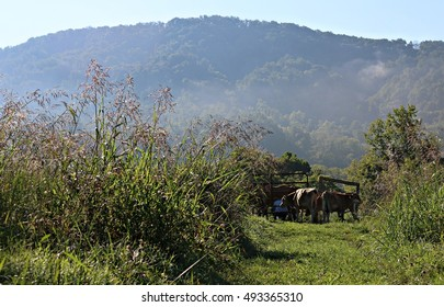 Jersey Bull And Steer Waiting To Be Fed In Pasture With Tall Johnson Grass Glistening In Morning Sunlight With Milk Cows Being Milked Beyond Fence On A Farm In South West Virginia