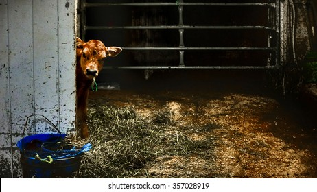 Jersey calf in a Vermont dairy farm.