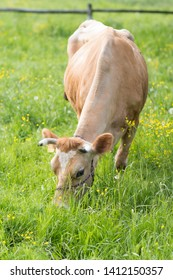 jersey cow eating grass on a meadow during spring