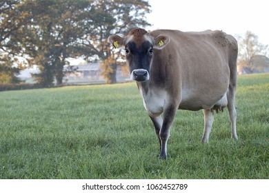 Jersey cow in a field early morning.