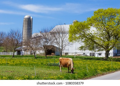Jersey cow grazing in meadow of amish farm