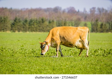 Jersey cow grazing on a green field in the spring