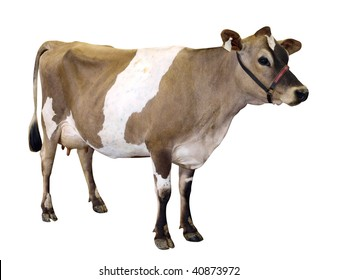 Jersey Cow with Halter isolated with clipping path